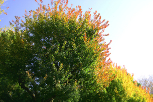 紅葉しはじめた樹の写真素材 [FYI01350453]