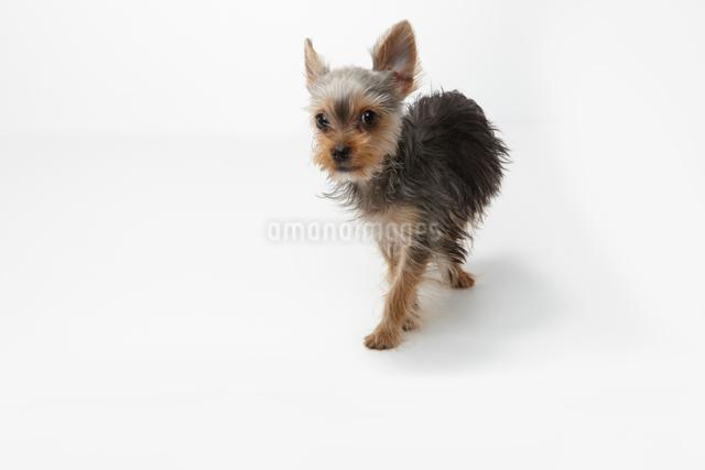 歩くヨークシャテリアの子犬の写真素材 [FYI01351184]
