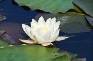 抜海霊園のハスの花の写真素材 [FYI01351426]