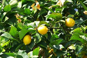 生口島のレモンの写真素材 [FYI01351803]