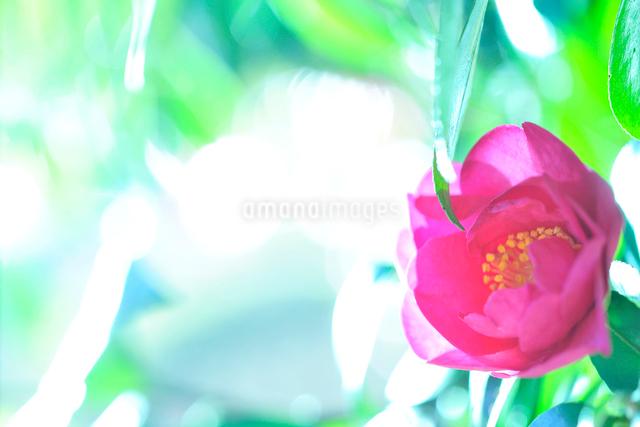 カンツバキの写真素材 [FYI01351836]