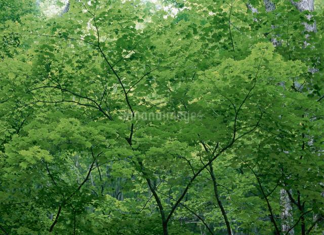 新緑の森の写真素材 [FYI01351860]
