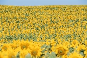 ひまわり畑の写真素材 [FYI01352326]