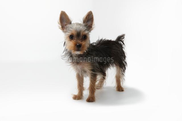 立つヨークシャテリアの子犬の写真素材 [FYI01352447]