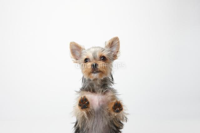 手をついてこちらを見るヨークシャテリアの子犬の写真素材 [FYI01352607]