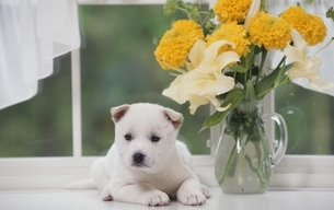 子犬の写真素材 [FYI01352994]