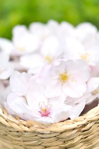 かごの中の桜の花の写真素材 [FYI01353835]