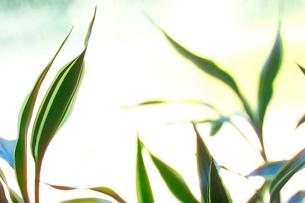 観葉植物の写真素材 [FYI01355567]
