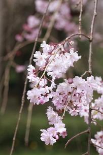 陽光を浴びる八重紅枝垂れ桜の写真素材 [FYI01355577]