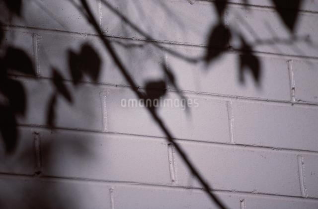 白レンガ壁面 木のシルエットの写真素材 [FYI01355842]
