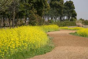菜の花の咲く道の写真素材 [FYI01356034]
