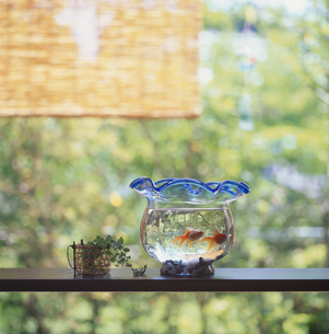 金魚の写真素材 [FYI01356926]