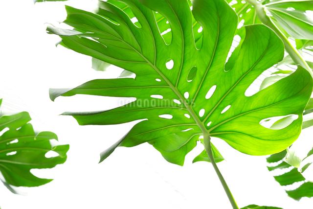 観葉植物の写真素材 [FYI01357004]