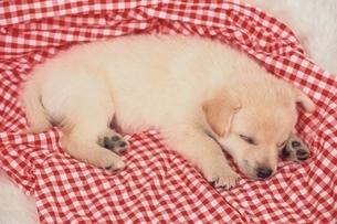 寝ている雑種の子犬の写真素材 [FYI01357167]