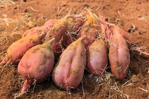 自然栽培のサツマイモ(安納芋)の写真素材 [FYI01357878]
