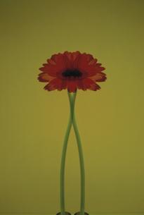 1輪の花と交わる茎の写真素材 [FYI01358459]