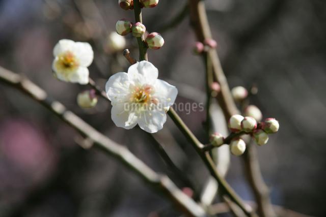 白梅の写真素材 [FYI01358528]
