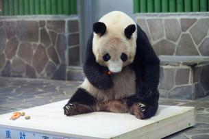 王子動物園のパンダの写真素材 [FYI01358637]