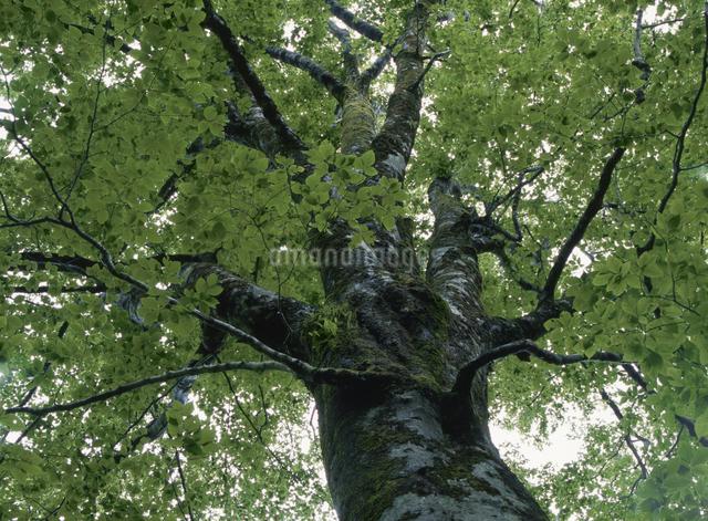 新緑のブナの木の写真素材 [FYI01358865]