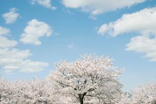 青空と雲と桜の写真素材 [FYI01358982]