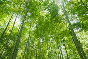 新緑の竹林の写真素材 [FYI01359435]