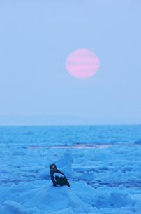 オオワシと朝の流氷の写真素材 [FYI01359775]