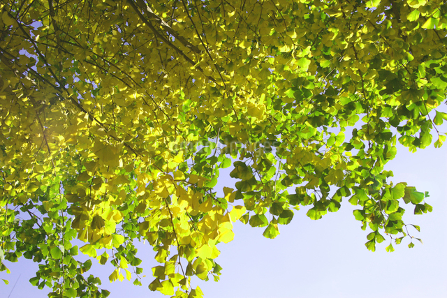 黄色く色づいたイチョウの木の写真素材 [FYI01359931]