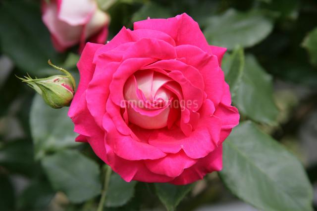 赤いバラの写真素材 [FYI01359962]