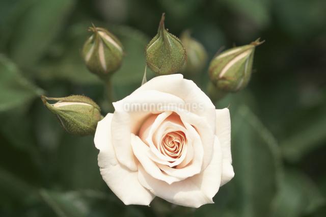 1輪の白いバラの写真素材 [FYI01359967]