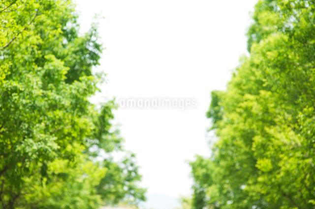 新緑の並木の写真素材 [FYI01360188]