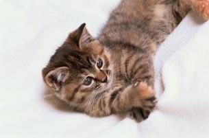 ネコ 1匹 屋内の写真素材 [FYI01360397]