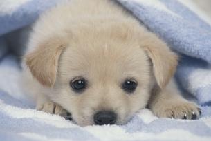 タオルと小犬の写真素材 [FYI01360529]