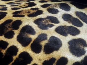 ジャガーの胴体の模様の写真素材 [FYI01361340]