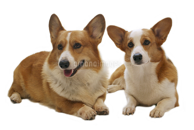 2匹の座る犬(コーギー)の顔の写真素材 [FYI01361878]