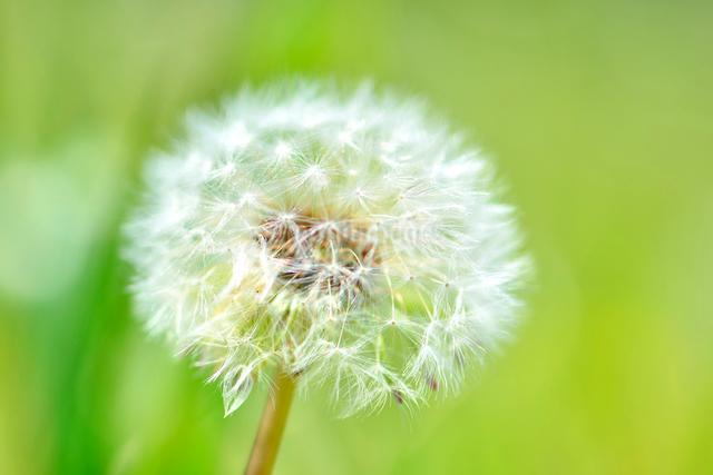 タンポポの綿毛の写真素材 [FYI01362288]