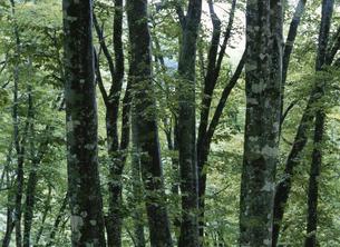 初秋のブナ林の写真素材 [FYI01362563]