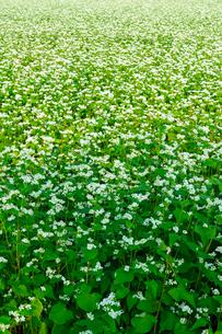 花咲くソバ畑の写真素材 [FYI01362570]