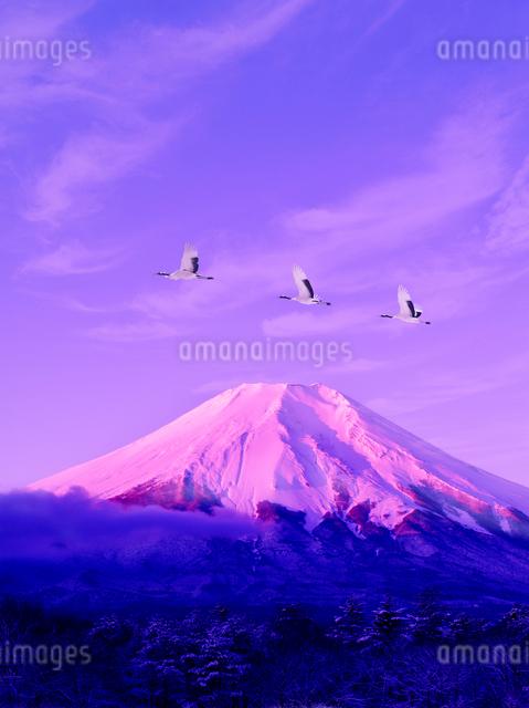 朝の富士山とタンチョウヅルの写真素材 [FYI01363026]