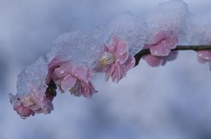 ウメと雪の写真素材 [FYI01363037]