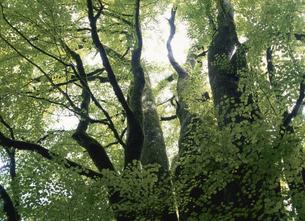 カツラの巨木の写真素材 [FYI01363326]