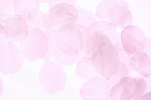 桜の花びらの写真素材 [FYI01363501]
