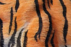 トラの剥製の胴体の縞模様の写真素材 [FYI01363541]