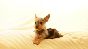 ふわふわの毛布の上でリラックスするヨークシャテリアの子犬の写真素材 [FYI01363661]