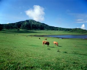 草千里牛の放牧の写真素材 [FYI01363665]