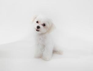 子犬のマルチーズの写真素材 [FYI01363800]