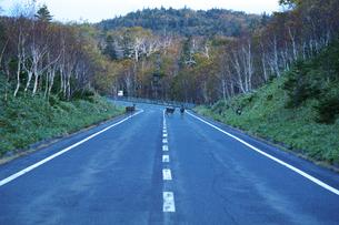 知床横断道路のエゾシカの写真素材 [FYI01366810]