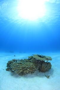 陽光を浴びる慶良間諸島のサンゴとスズメダイの写真素材 [FYI01366976]