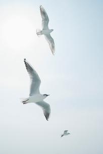 空を舞う3羽のカモメの写真素材 [FYI01367089]