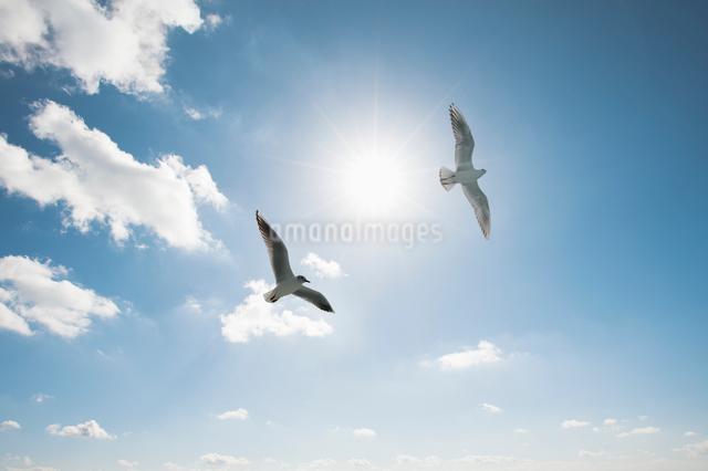 空を舞う2羽のカモメの写真素材 [FYI01367114]