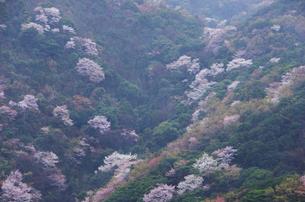 佐田岬の桜の写真素材 [FYI01367542]